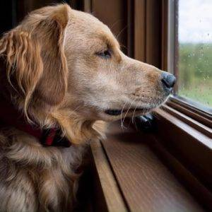 The dog was constantly looking out the window. The owner was surprised when she found out the reason