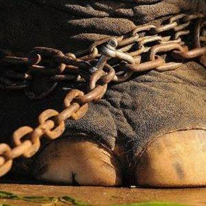 The elephant was chained for 50 years. You have no idea what he did when he became free!